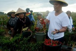 Bandar Agung Jadi Sentra Cabai Lado di Lampung Tengah