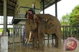 Gajah TNWK Jalani Perawatan Usai Alami Kecelakaan