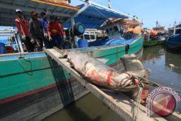 Meski Terancam Punah, Nelayan NTB Tangkap Ribuan Ekor Hiu