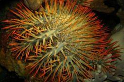 Tsunami bintang laut bakal musnahkan terumbu karang