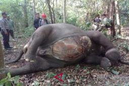 Gajah TNWK mati diduga akibat pemburu liar