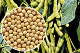 Lampung disuplai benih kedelai dari Pandeglang