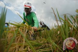 Farmers refuse govt's plans to import rice