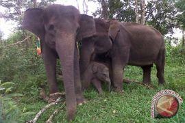 Belasan gajah masuk kampung di Tanggamus