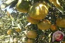 Studi : Konsumsi satu jeruk sehari, daya pandang terjaga baik