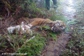 Harimau Sumatera tersisa 400 ekor