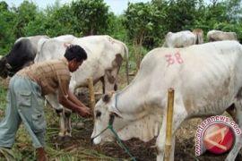 Dinas TPHP ingatkan warga hati-hati beli sapi