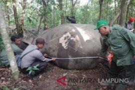Delapan tahun 26 gajah Way Kambas mati diburu