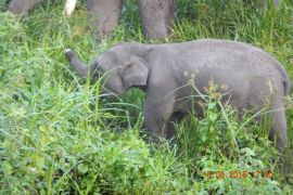 Nasib Gajah Sumatera