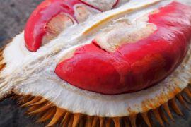 Kampung Durian Banyuwangi makin terkenal