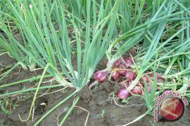 Bawang merah cocok dibudi dayakan di Lampung timur