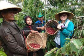 Produksi kopi robusta Lampung turun