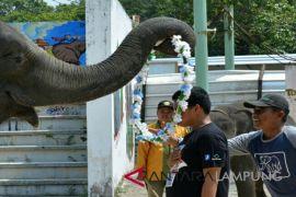 Gajah Lampung kalungi bunga Andre Wartabone