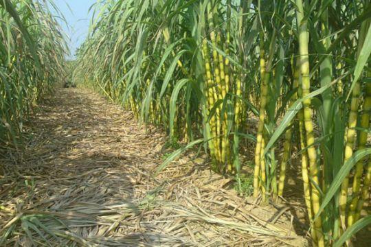 Waykanan siapkan 25 ribu ha lahan untuk perkebunan tebu