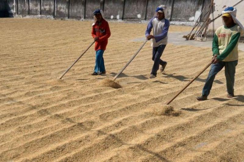 Harga Gabah Tingkat Petani Lampung Naik 2 Persen