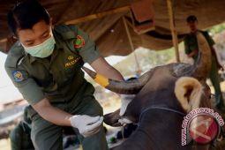 Tim Kesmavet Makassar periksa 1.024 sapi kurban