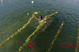 DKP Sulsel dorong tingkatkan kualitas rumput laut