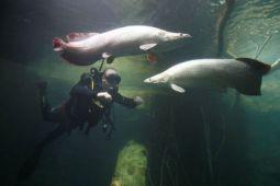 Menteri Susi ingatkan bahaya lepasliarkan ikan arapaima
