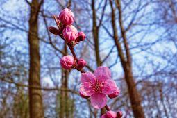 Sulsel uji coba penanaman pohon Sakura