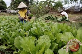 Majene kembangkan komoditas sayuran