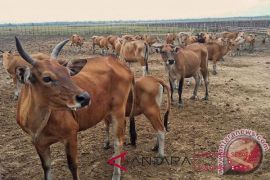 More than 7,700 cows insured in South Sulawesi