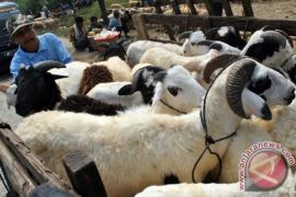 Harga kambing naik di Majene