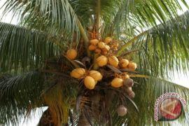 Kementan luncurkan varietas kelapa unggul lokal di Manado