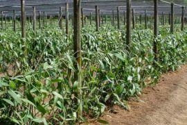 Harga vanili di Manado stagnan