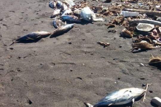 Ratusan ikan cakalang mati di pantai Minahasa Tenggara