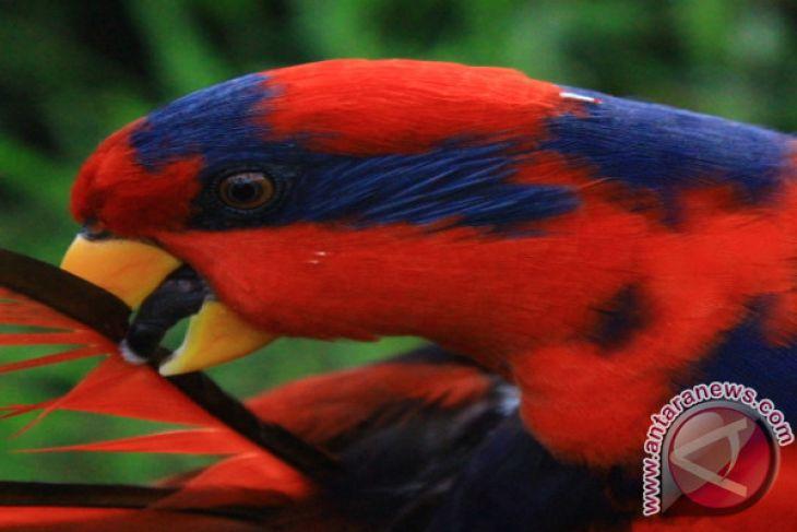 Pemkab Talaud Peduli Burung Sampiri (Nuri Talaud)