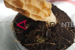 Mewujudkan ekspor potensi jamur
