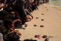 Bupati Lombok Utara lepas tukik di Trawangan