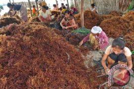 Korban gempa Mataram dilatih olah rumput laut