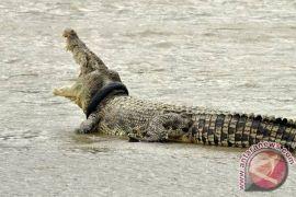 Buaya yang muncul di Pantai Nambung masih berkeliaran