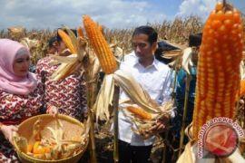 NTB ekspor jagung sebanyak 77.500 ton