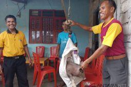 Artikel - Kisah bidan ternak babi di Sumba Barat Daya