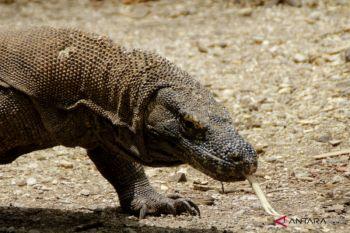 Komodo Pulau Komodo