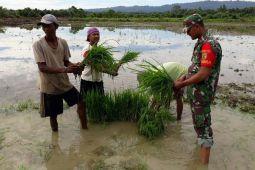 Babinsa Koramil Arso bantu petani tanam padi