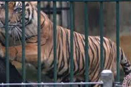 Harimau Sumatera Kehilangan Kampung Halaman