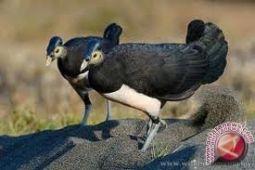Mengintip Maleo Burung Endemik Di Kawasan TNLL
