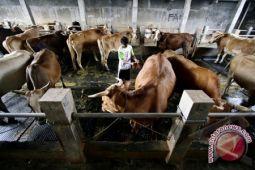 Sulteng Targetkan Populasi Ternak Sapi  556.682 Ekor
