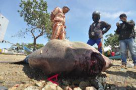 Ikan Mola kembali terdampar
