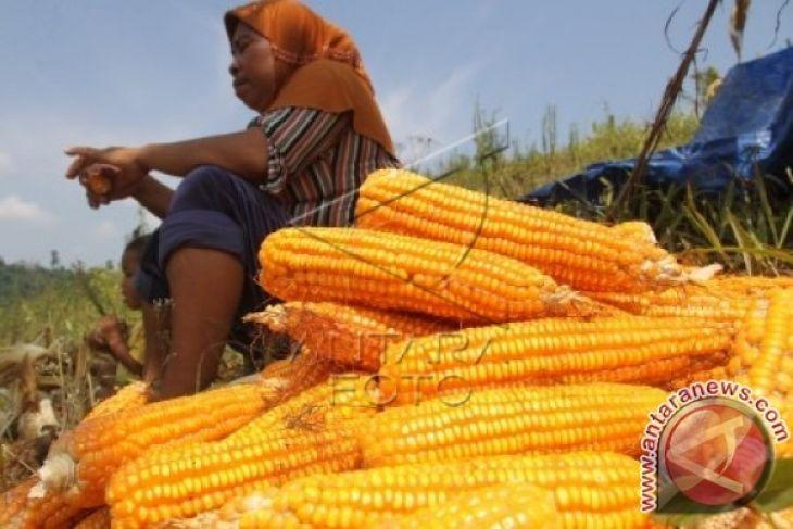 Poso dijadikan sentra bibit jagung berlabel nasional
