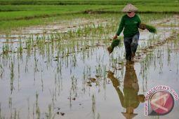 Hujan ancam padi siap panen di Konawe
