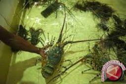 Baubau Mulai Budidaya Lobster