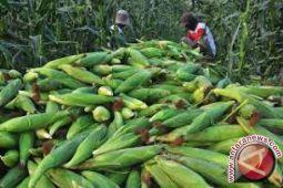 Produksi Jagung Konawe Selatan 49.328 Ton