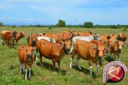 Konawe Selatan miliki kawasan pengembangan ternak sapi