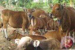 Meningkat, Populasi Ternak Sapi di Konawe