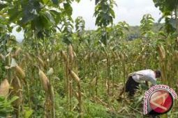 Sultra Dorong Petani Tingkatan Produktivitas Jagung