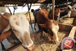 Konawe Selatan datangkan 300 bibit sapi Australia